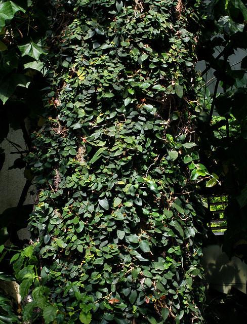 Ficus repens ou pumila : sans limites !! 37705511