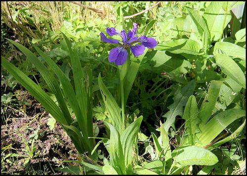 Iris tectorum - un iris chinois  38213010