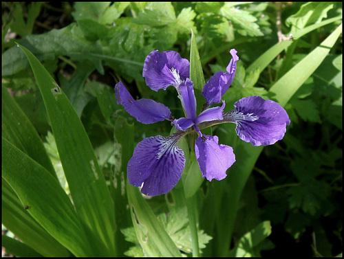 Iris tectorum - un iris chinois  38213011