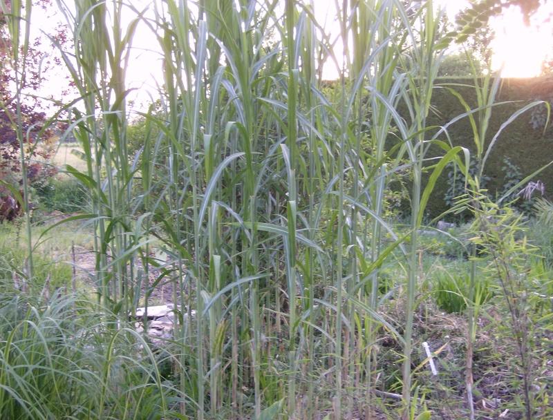 Miscanthus lutarioriparius alias Triarrhena lutarioriparia Hpim1747