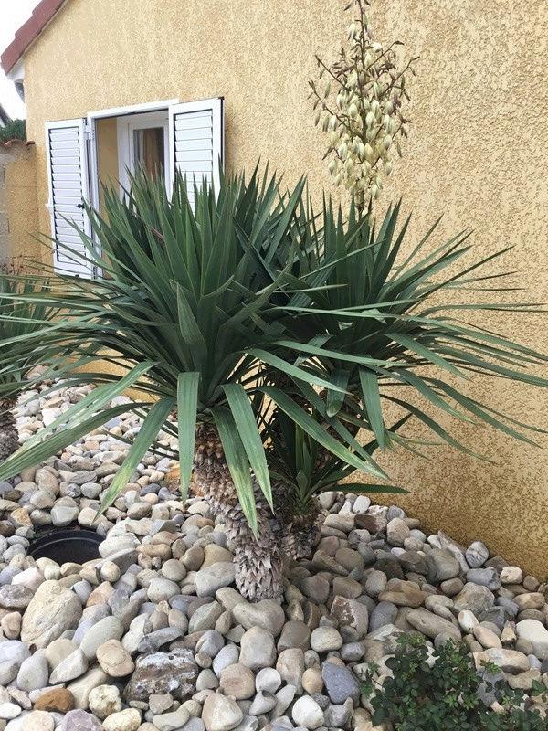 Yucca rostrata Sans_t83