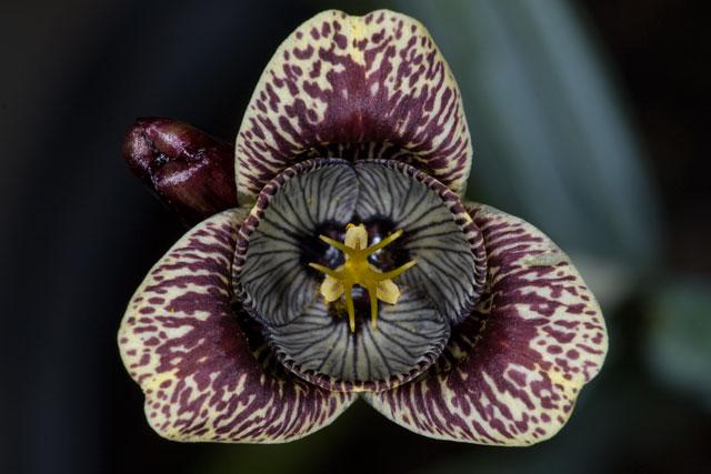 Bulbeuses exotiques acclimatables au jardin ( Liliacées, ( Amaryllidacées, Iridacées...) Tigrid10