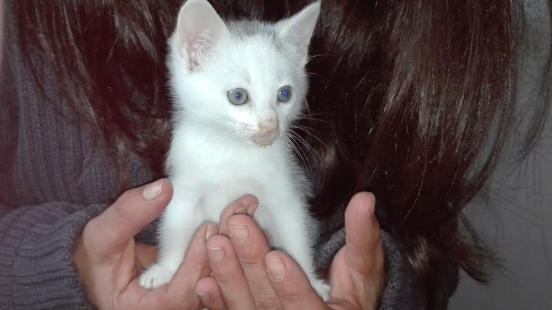 Nyzia, femelle européenne blanche et taby, née le 1er aout 2017 Nizia_10
