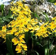 Ms Orchidées  Orchid12