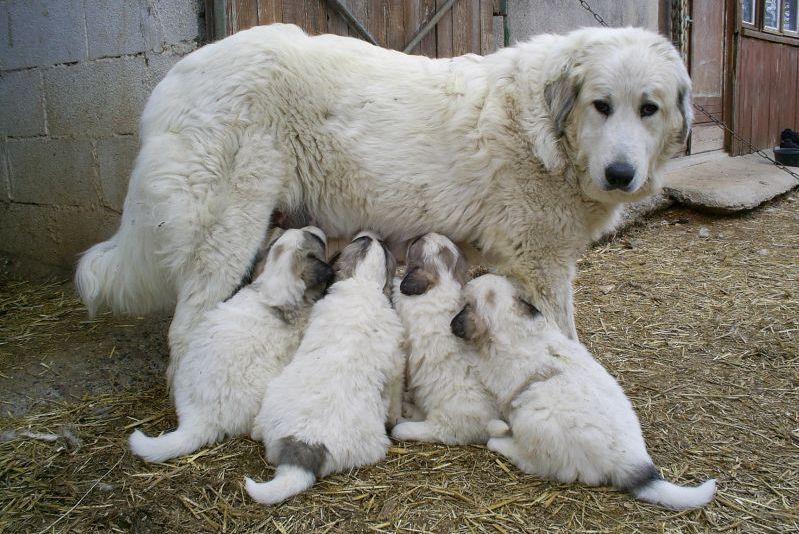 Les chèvres, Cachou, Crapouille, Mutine et les autres Patou_10