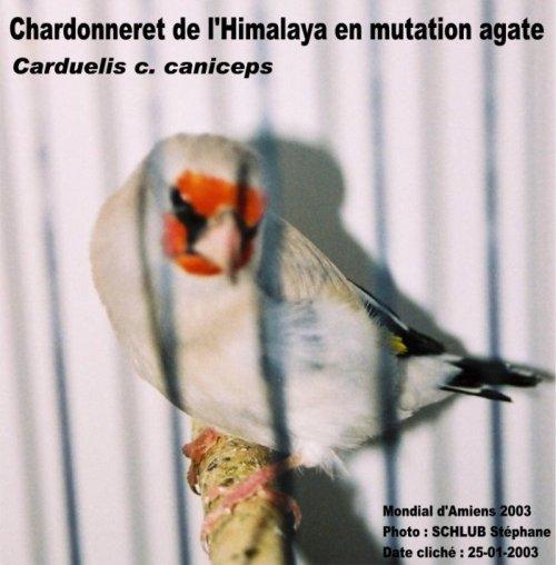 Tutoriel du chardonneret et de ses mutations Chrdt_10