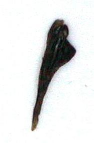 Introduction de Chrysocarabus lineatus à Najac (12) Dscn5615