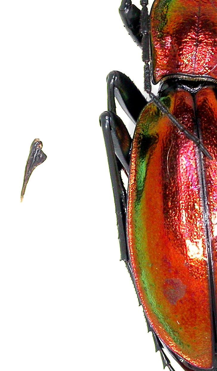 Introduction de Chrysocarabus lineatus à Najac (12) Dscn5619