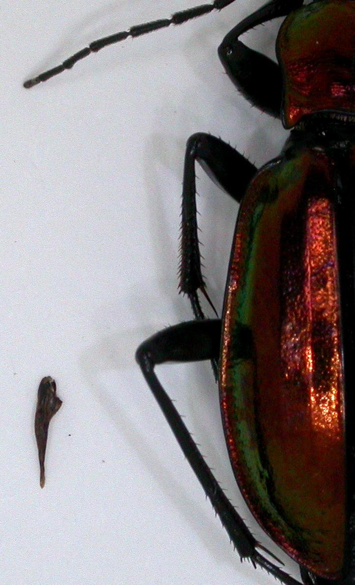 Introduction de Chrysocarabus lineatus à Najac (12) Dscn5620