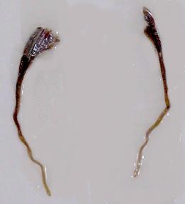 Introduction de Chrysocarabus lineatus à Najac (12) Dscn5711