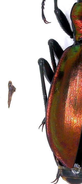 Introduction de Chrysocarabus lineatus à Najac (12) Dscn5714