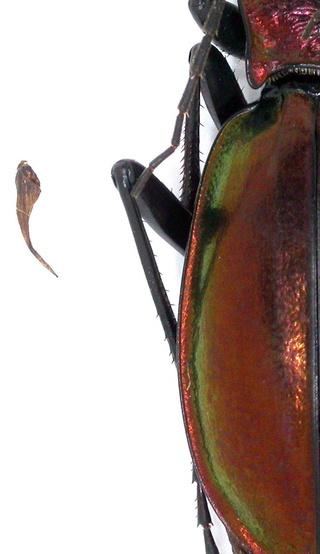 Introduction de Chrysocarabus lineatus à Najac (12) Dscn5715