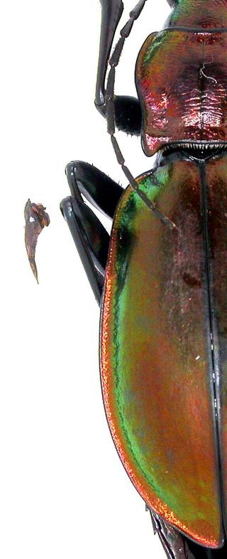 Introduction de Chrysocarabus lineatus à Najac (12) Dscn5716