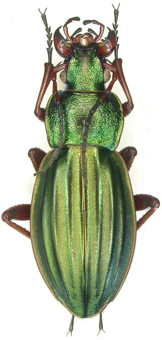 Carabus (Tachypus) auratus dans le 64 Dscn6811