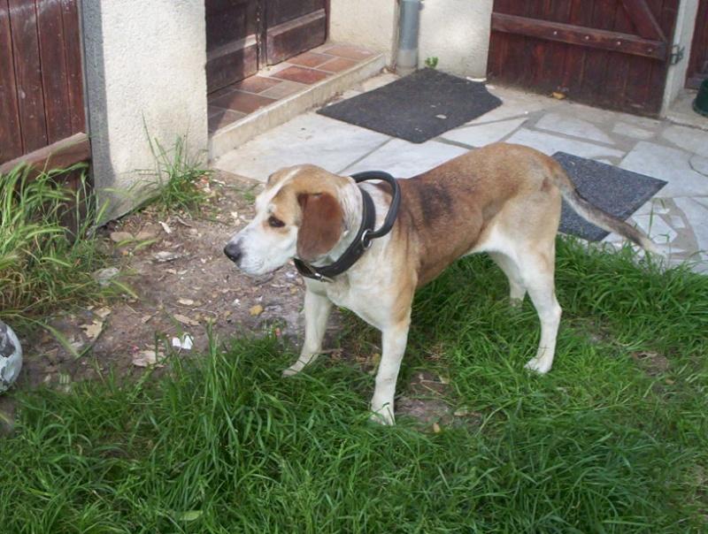 CYBILE... x chien courant, femelle, env. 4 ans 000_0915
