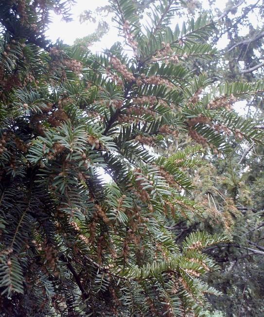 Taxus baccata Hpim8611