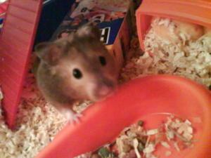 [ESPÈCE] Le hamster Syrien Dsc00610