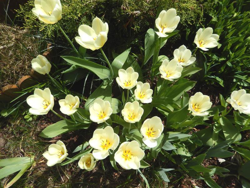 Un peu de printemps dans mon petit jardin ! 2018-270