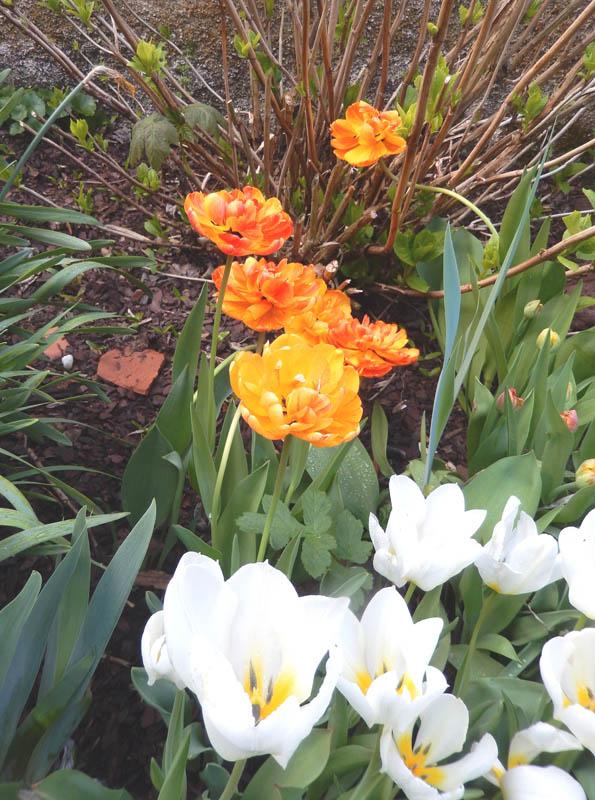 Un peu de printemps dans mon petit jardin ! 2018-614