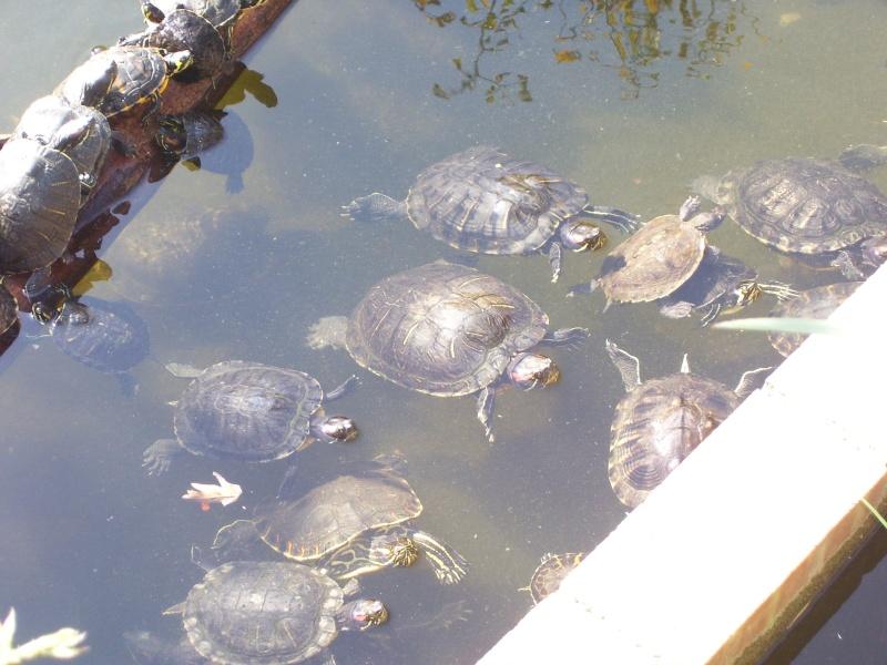 Photo de tortue pris pendant un voyage 100_0612