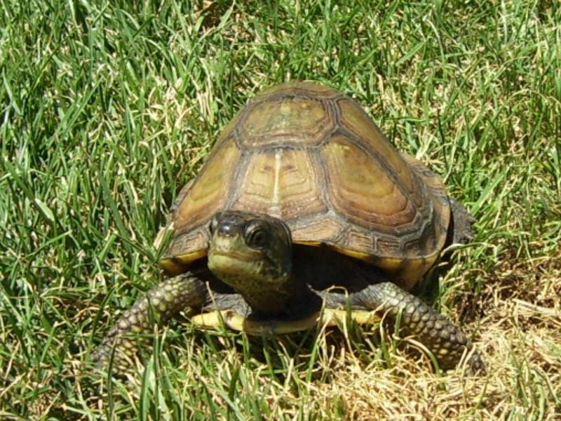 Quelque photos de tortues Terrap10