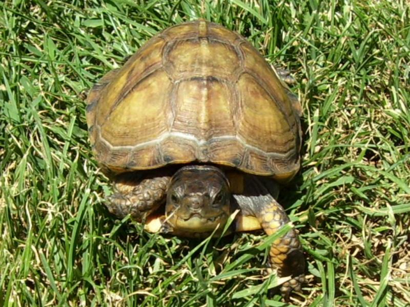 Quelque photos de tortues Terrap11