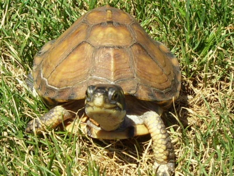 Quelque photos de tortues Terrap12