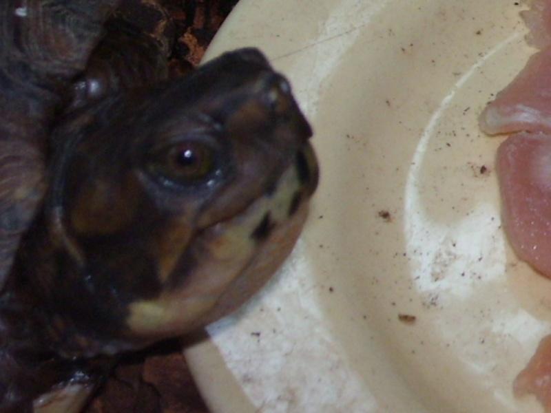 Quelque photos de tortues Terrap15