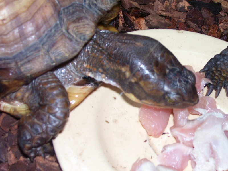 Quelque photos de tortues Terrap16