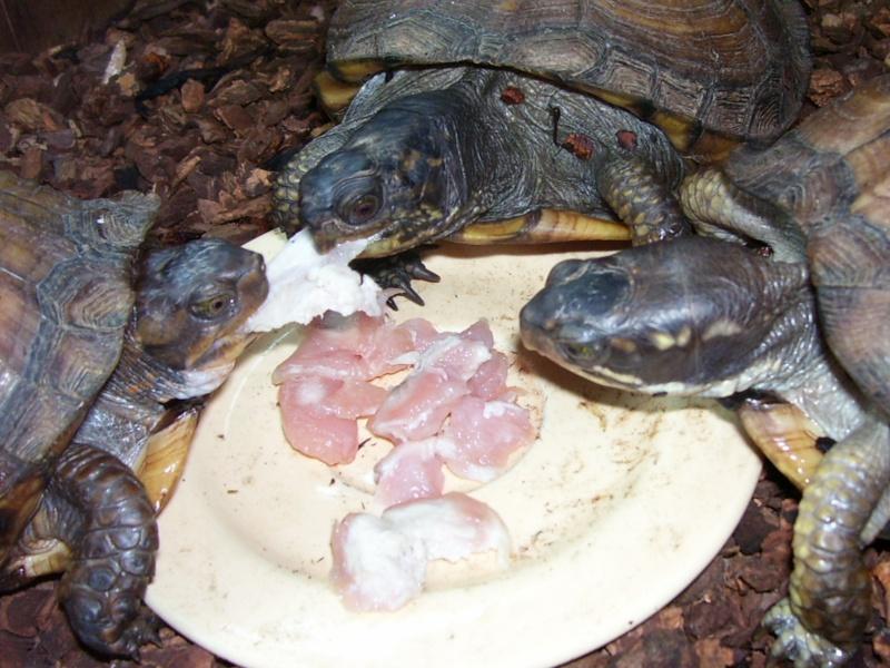 Quelque photos de tortues Terrap17