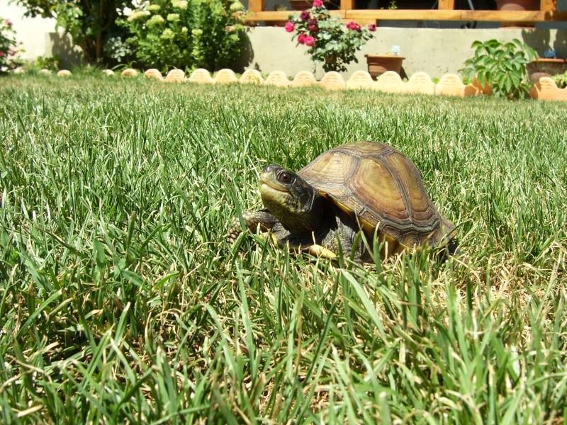 Quelque photos de tortues Terrap21