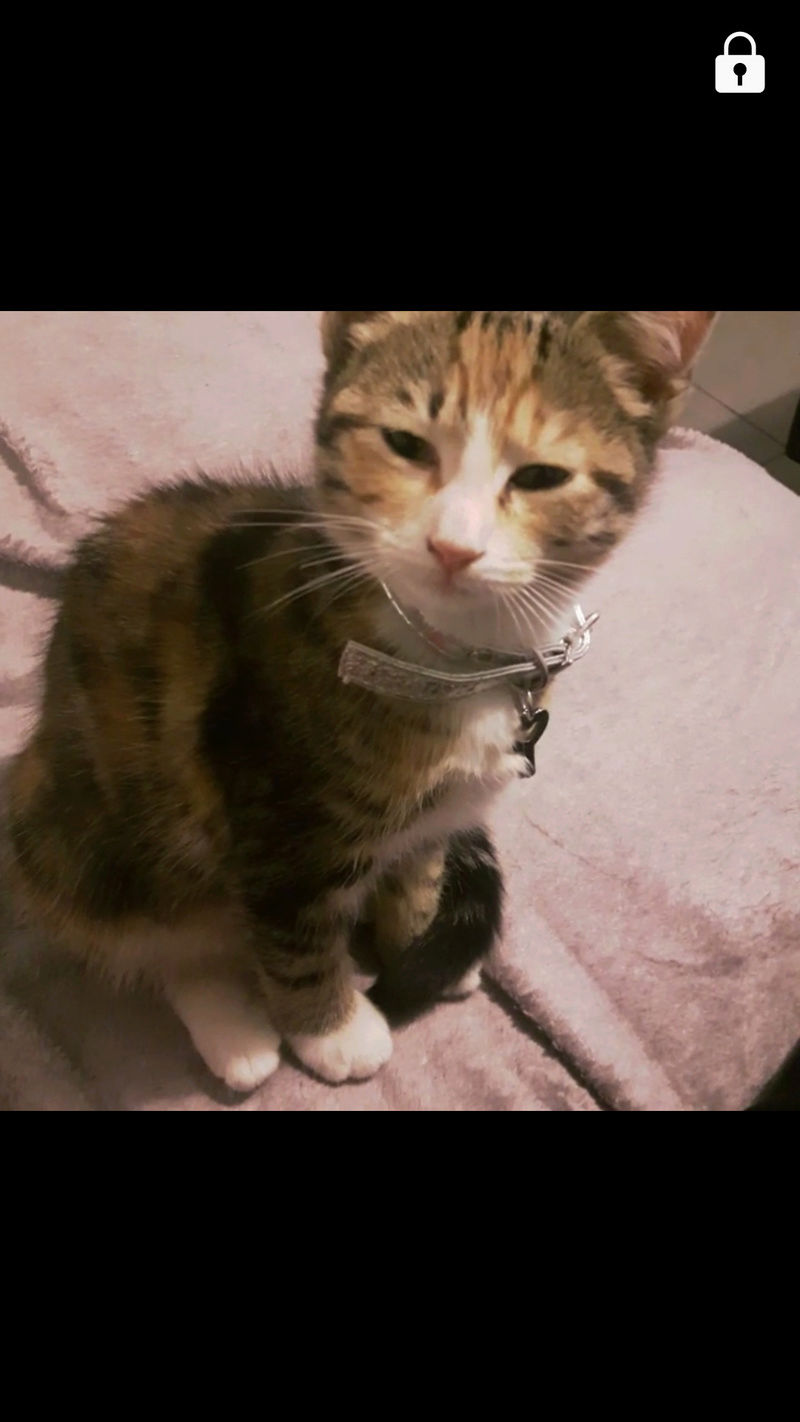Perdue chatonne tricolore tigrée aux Marots à Colomiers 23659810