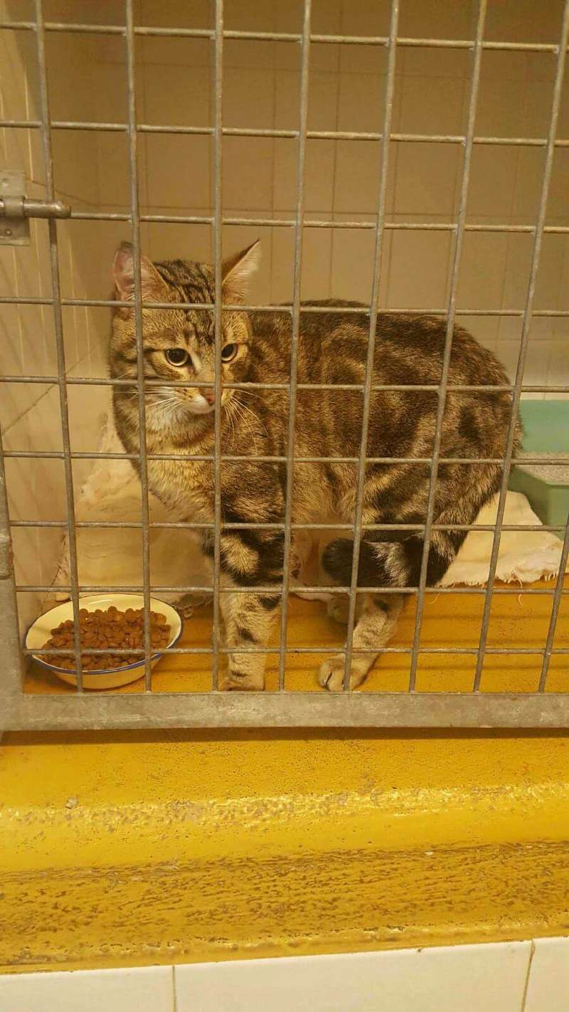 Trouvé chat marbré aux Ramassiers 25316910