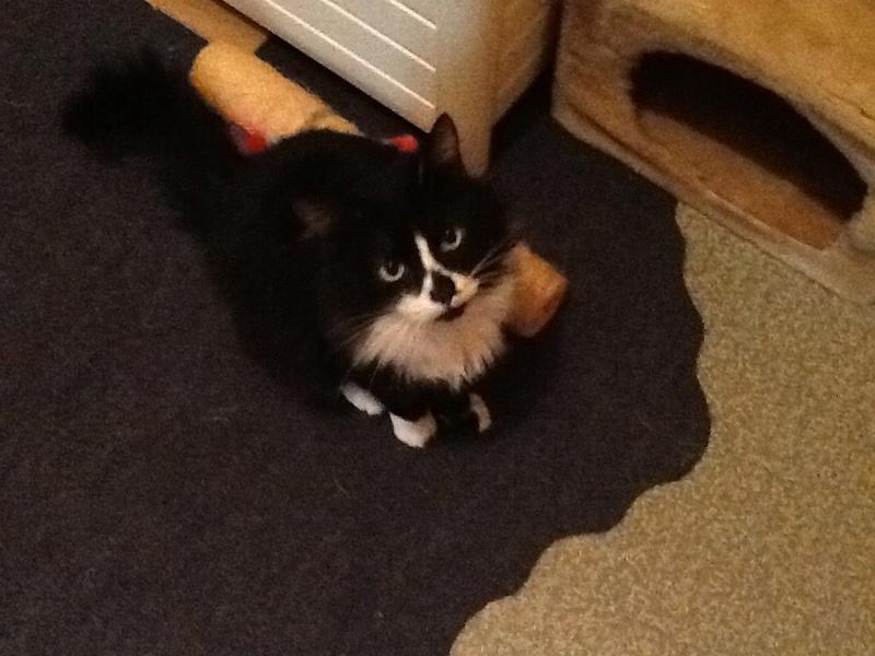 Trouvé chat noir et blanc angora à Colomiers 25630310