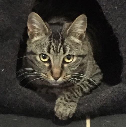 Trouvée chatte tigrée à Colomiers N_caro10
