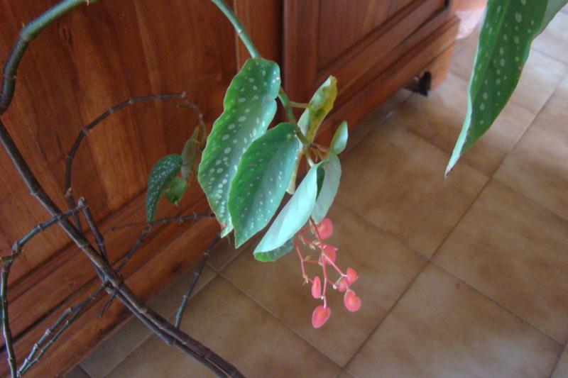 bouture de begonia Dsc01410