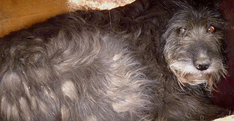 ** FAUSTINE, CHIENNE AGEE 11 ANS ** - femelle croisée de grande taille, née en 2006 ( PASCANI ) - décédée - Page 3 Fausti10