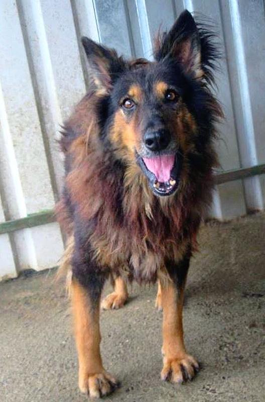 ORGANZA, femelle croisée berger allemand âgée taille moyenne née environ 2002 (Pascani)- REMEMBER ME LAND - En FALD chez lakota03 (03)-Decedee - Page 4 Organz10