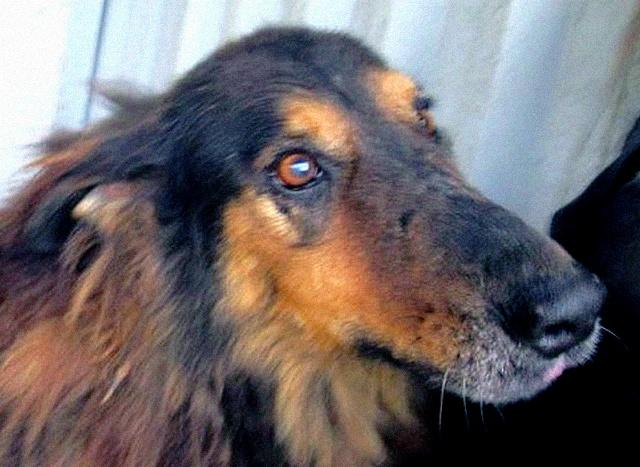 ORGANZA, femelle croisée berger allemand âgée taille moyenne née environ 2002 (Pascani)- REMEMBER ME LAND - En FALD chez lakota03 (03)-Decedee - Page 4 Organz11