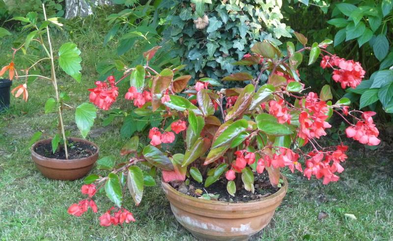 un begonia rustique - Page 3 P1040610