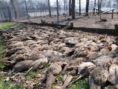 Čopor pasa zaklao 400 fazana u Šumaricama 5369610