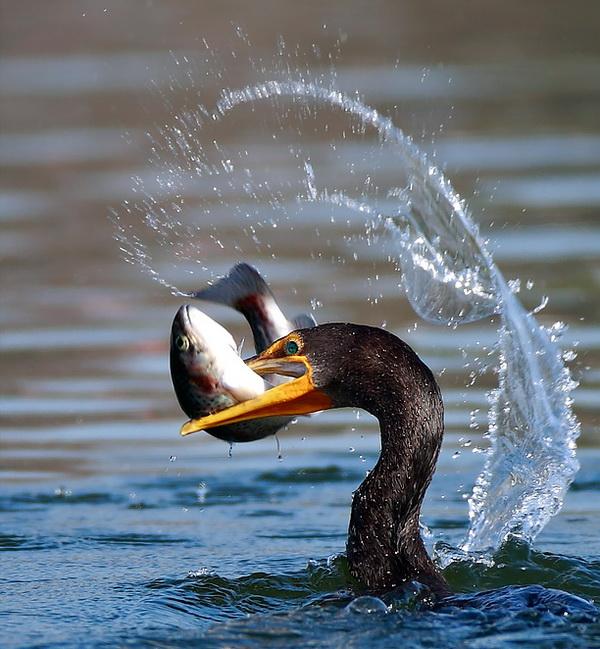 Kormorani (i dr. ptice ribolovci) ! 84863510