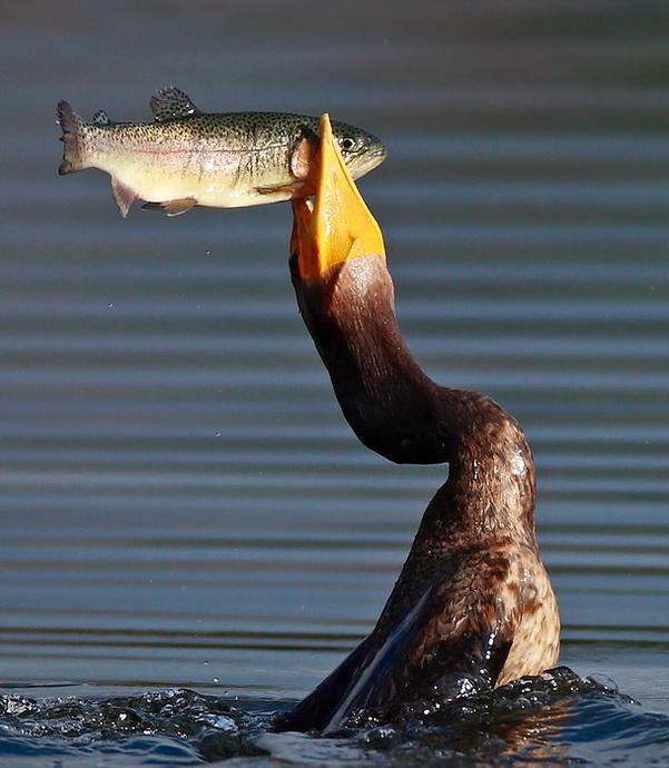 Kormorani (i dr. ptice ribolovci) ! 85630910