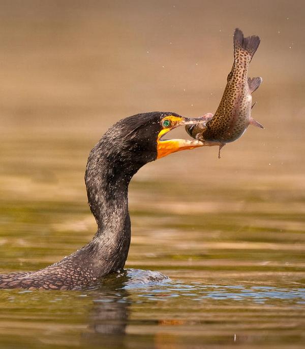 Kormorani (i dr. ptice ribolovci) ! 86428910