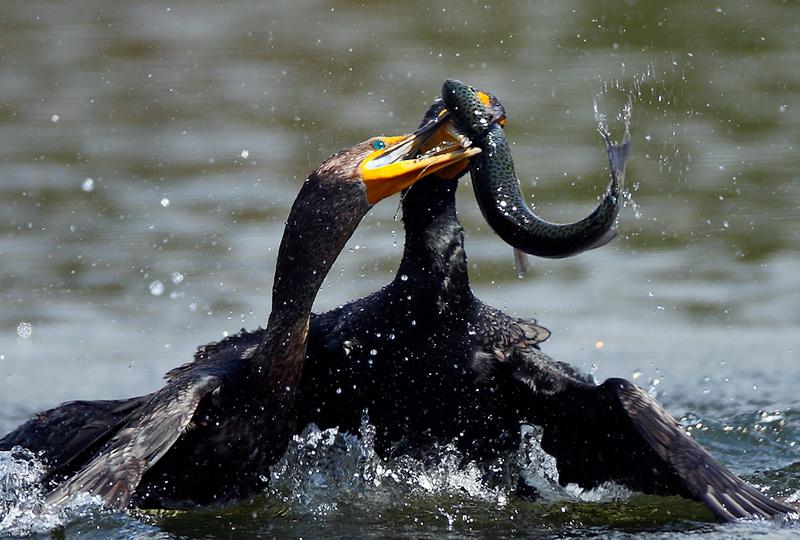 Kormorani (i dr. ptice ribolovci) ! 89525510