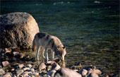 Les loups...... 182-2610