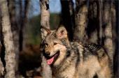 Les loups...... 182-2611