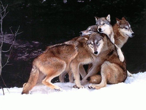 Les loups...... - Page 4 Ae4f7d10