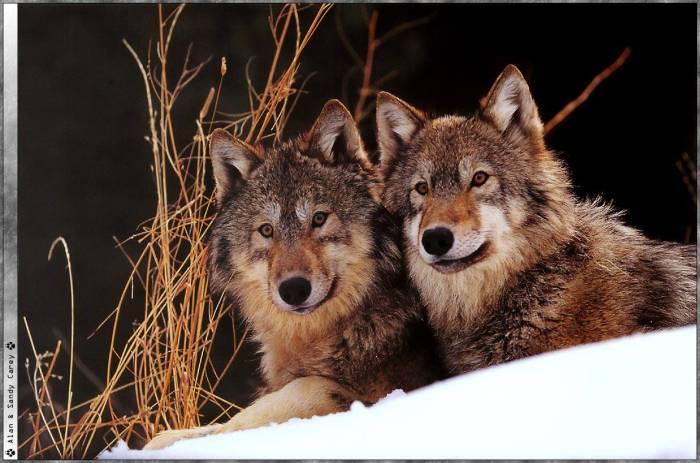Les loups...... Loups_10