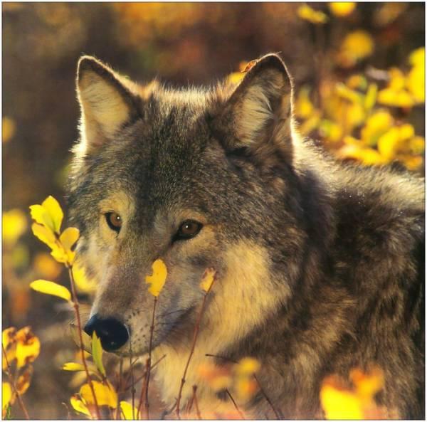 Les loups...... Loups_11